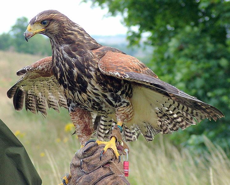 Falconry in HMYOI Warren Hill, News at OlassJobs